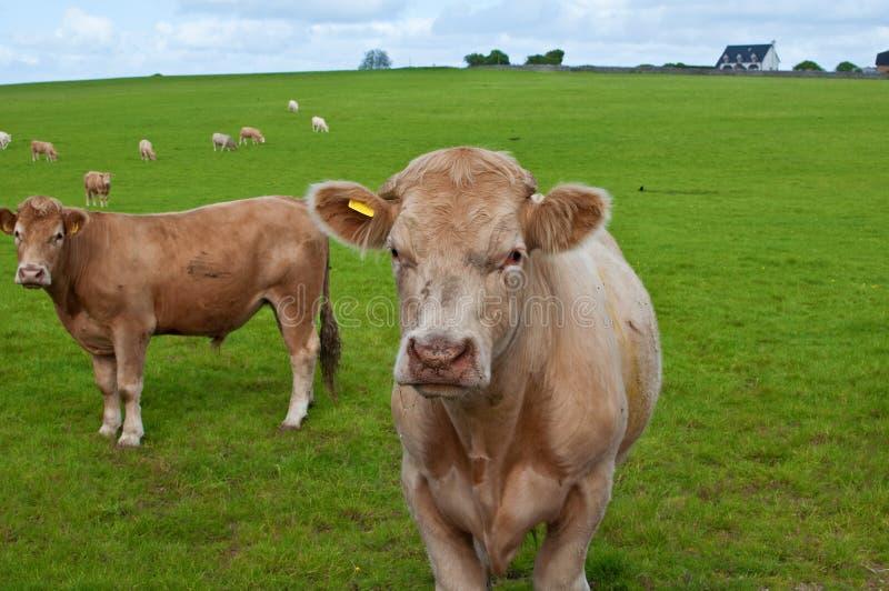 Vacas en un campo verde fotos de archivo libres de regalías