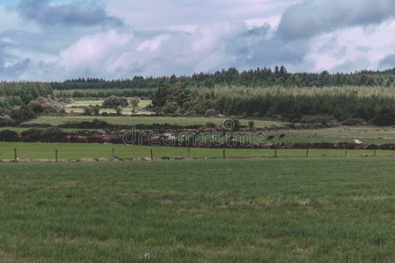 Vacas en un campo verde en el campo irlandés imagenes de archivo