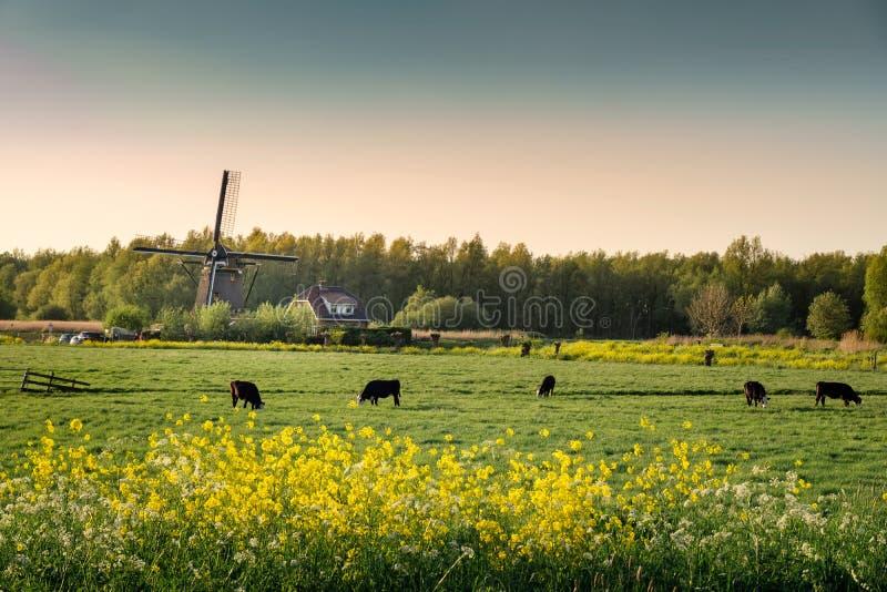 Vacas en un campo y los molinoes de viento fotografía de archivo