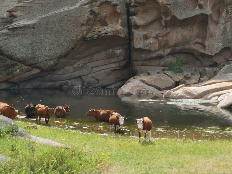 Vacas en un lugar de riego en las montañas imagenes de archivo