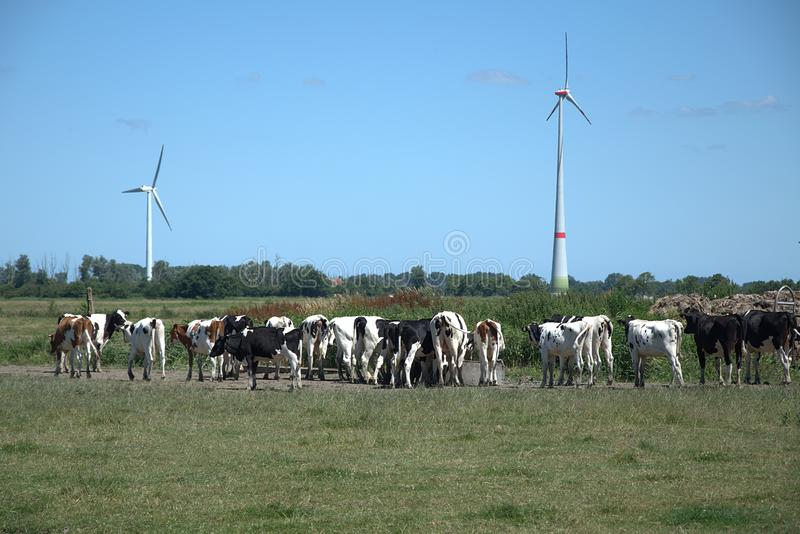 Vacas en un pasto imagenes de archivo