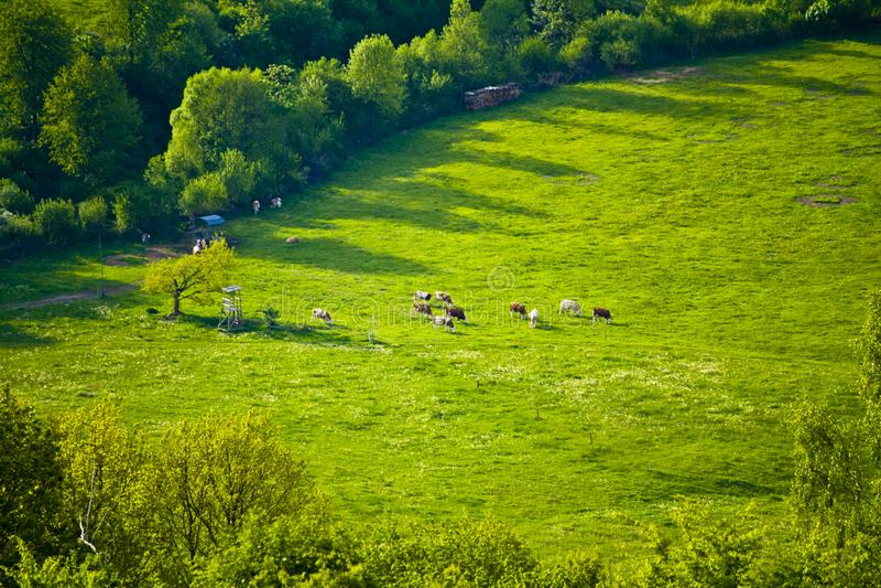 Vacas en un pasto id?lico de la monta?a en Baviera foto de archivo libre de regalías