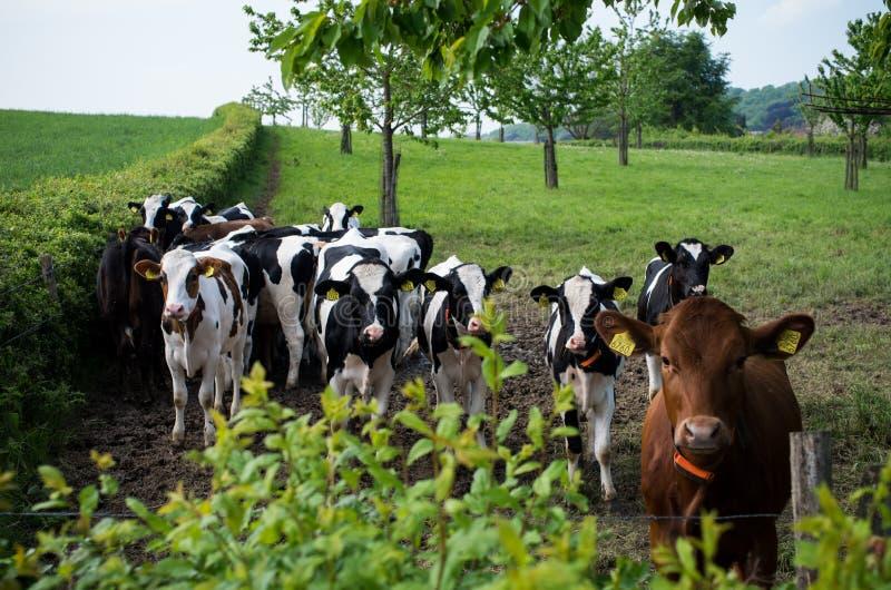 Vacas en un prado con los árboles frutales fotos de archivo