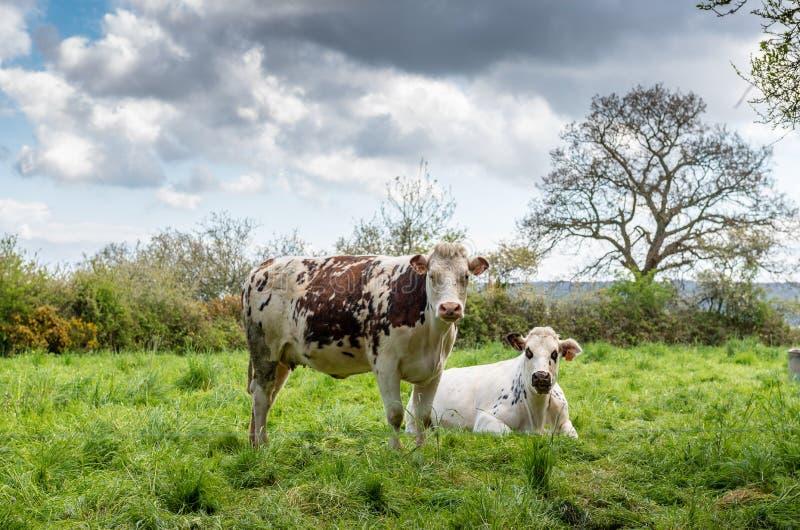 Vacas en un prado en Normandía, Francia fotografía de archivo libre de regalías