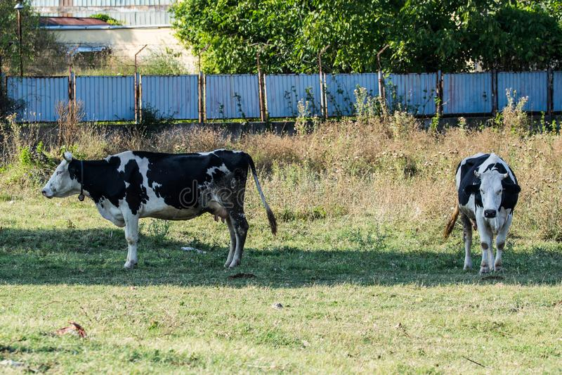 Vacas en un rancho fotos de archivo libres de regalías