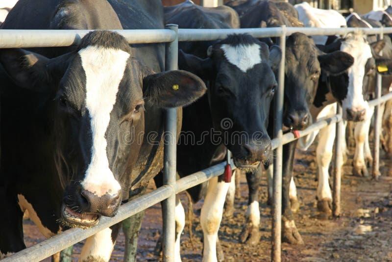 Vacas en una granja imagen de archivo