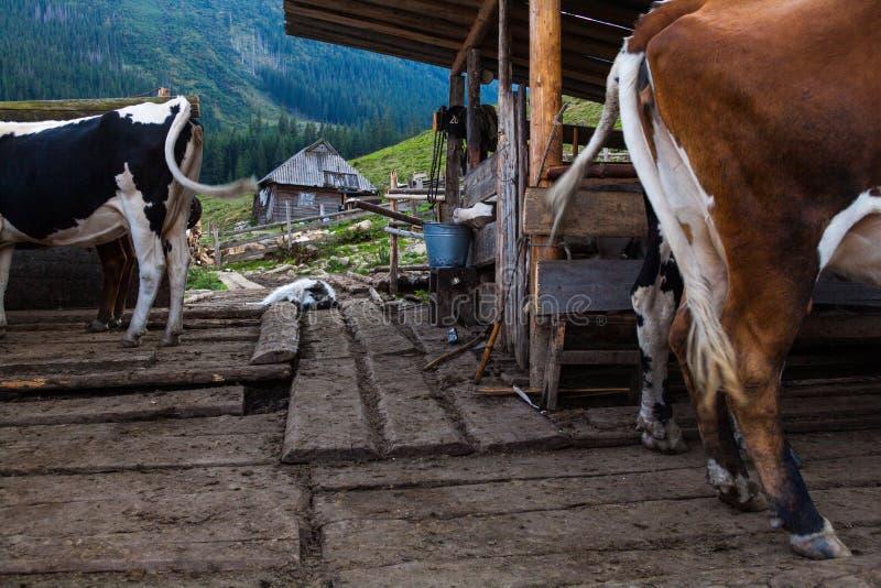 Vacas en una pluma La granja en los Cárpatos ucranianos foto de archivo