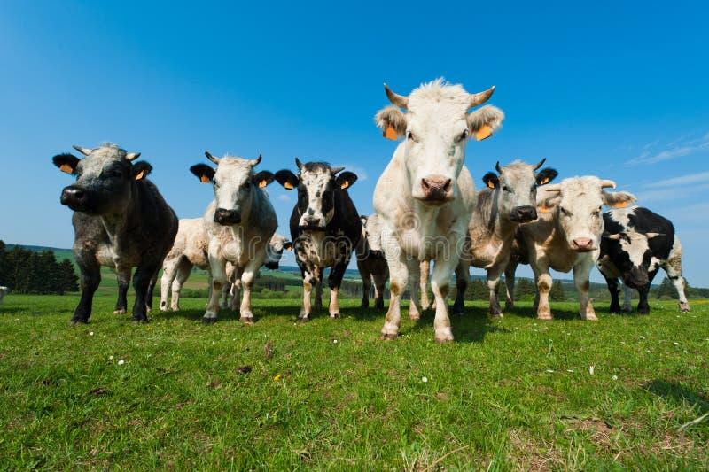 Vacas encendido en tierras de labrantío en el Ardennes fotografía de archivo libre de regalías