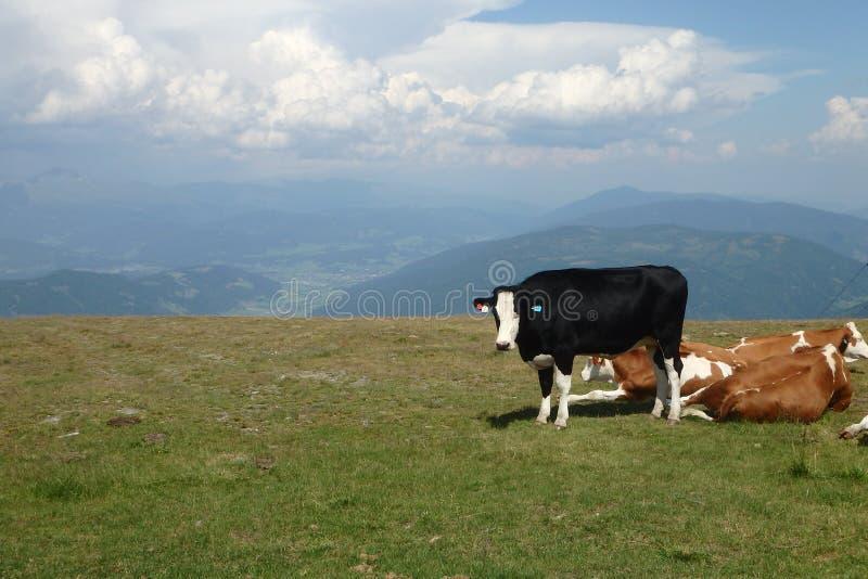 Vacas encima de una montaña imagenes de archivo