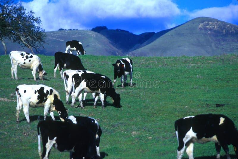 Vacas felizes de Califorina! foto de stock