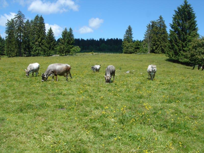 Vacas grises en la montaña imagen de archivo libre de regalías
