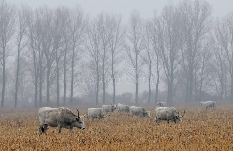 Vacas grises húngaras en un campo fotografía de archivo libre de regalías