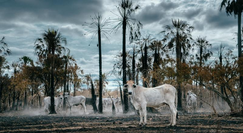 Vacas hambrientas en un bosque tropical quemado fotos de archivo