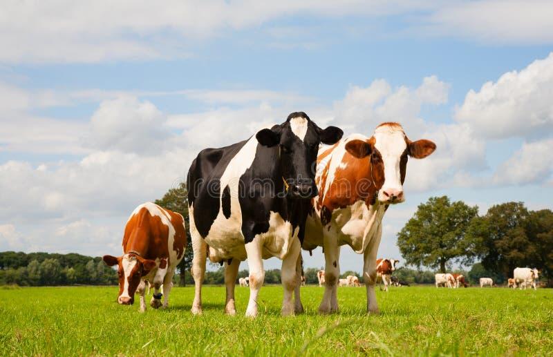 Vacas holandesas imagen de archivo
