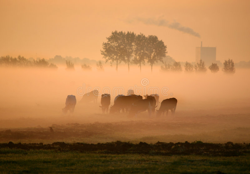Vacas holandesas en niebla de la mañana fotos de archivo
