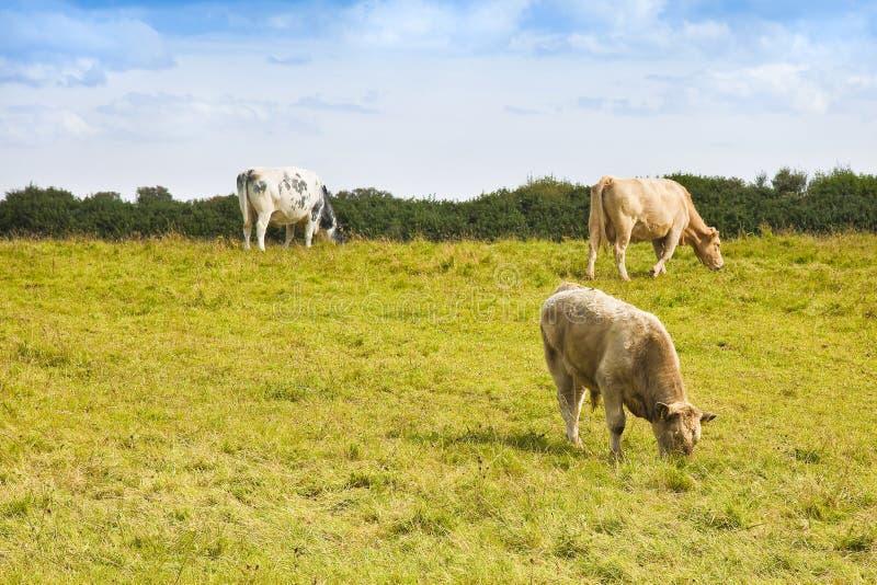 Vacas irlandesas que pastan - imagen con el espacio de la copia imagenes de archivo