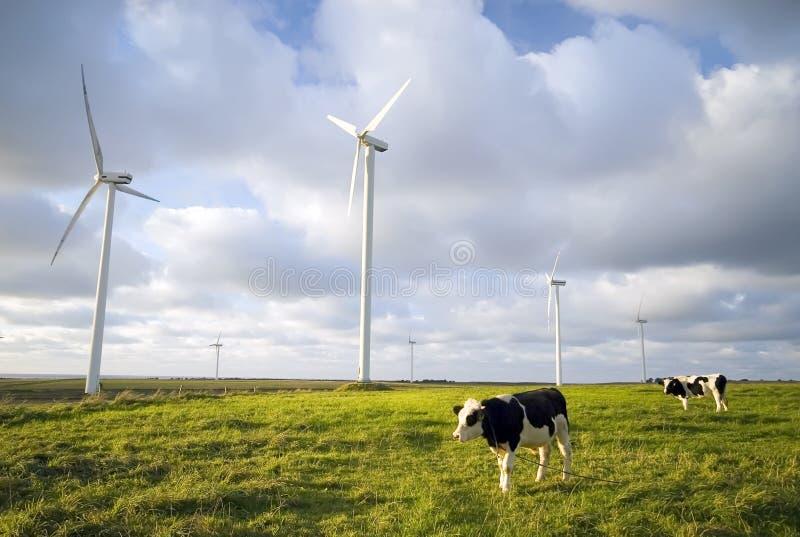 Vacas lecheras fotografía de archivo libre de regalías