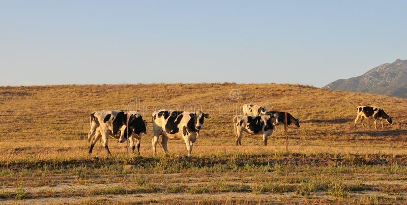 Vacas lecheras de la gama libre que pastan en un campo imagen de archivo