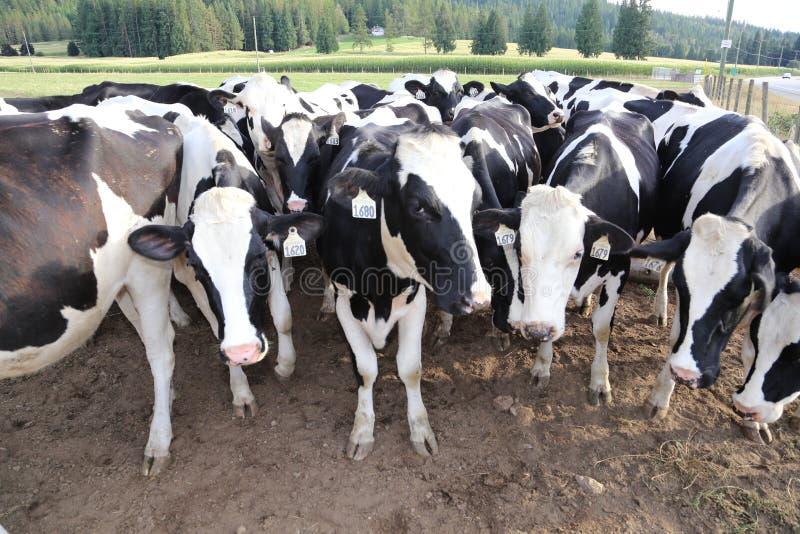 Vacas lecheras Dinamarca y señal famosa del ` s de Europa foto de archivo libre de regalías