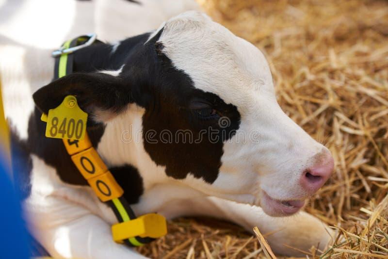 Vacas lecheras en un establo de la granja, primer Industria de la agricultura, cultivando concepto imagen de archivo libre de regalías