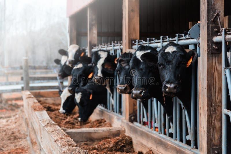 Vacas lecheras en un granero imagen de archivo