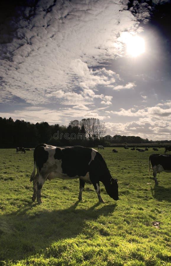 Vacas lecheras en un prado fotografía de archivo libre de regalías