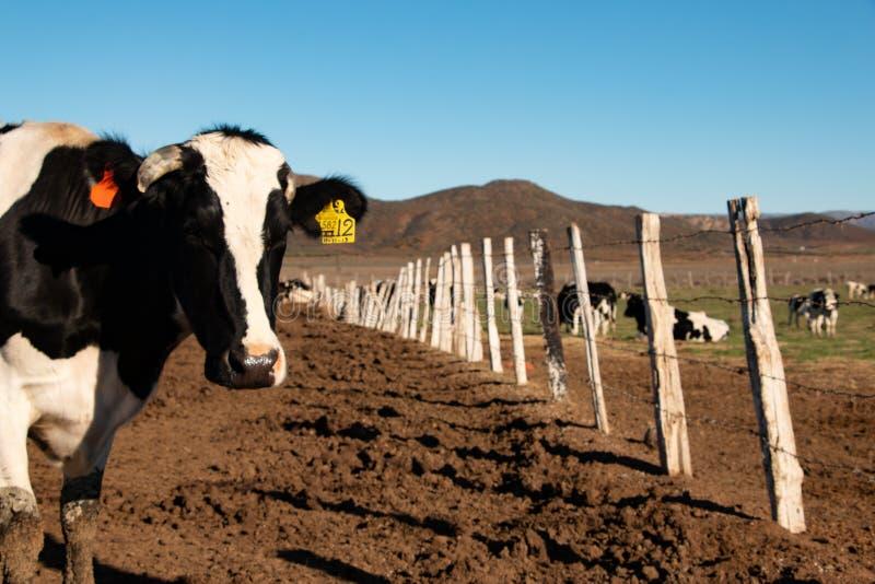 Vacas lecheras en un rancho de la producción de queso en Ojos Negros, México foto de archivo libre de regalías