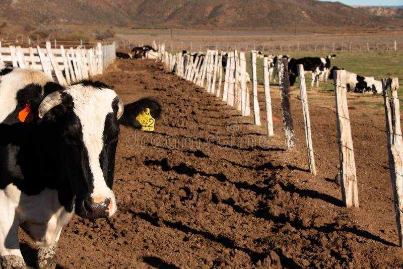 Vacas lecheras en un rancho de la producción de queso en Ojos Negros, México fotografía de archivo libre de regalías