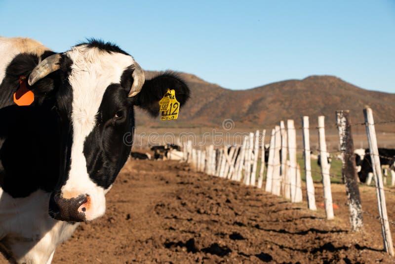 Vacas lecheras en un rancho de la producción de queso en Ojos Negros, México fotos de archivo libres de regalías