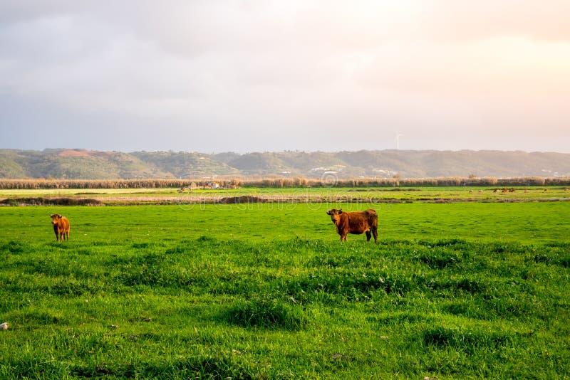 Vacas libres de la gama foto de archivo