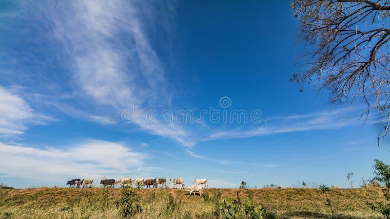 Vacas livres na pastagem de Paraguai fotografia de stock