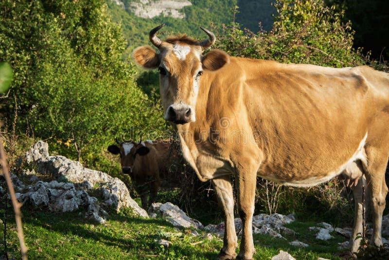Vacas livres que pastam na montanha imagem de stock