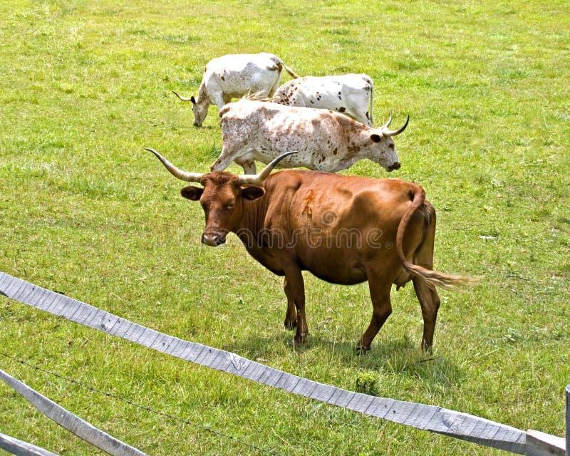 Vacas longas do chifre fotos de stock royalty free