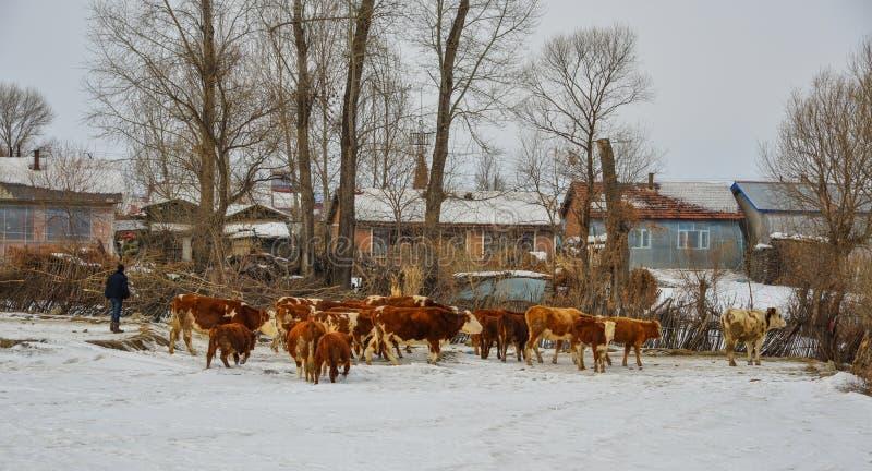 Vacas longas dos cabelos de Brown na paisagem da neve imagem de stock royalty free