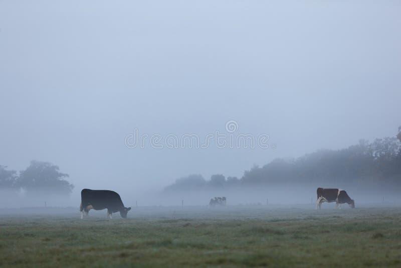 Vacas manchadas cedo em moring o prado enevoado em holland fotos de stock royalty free
