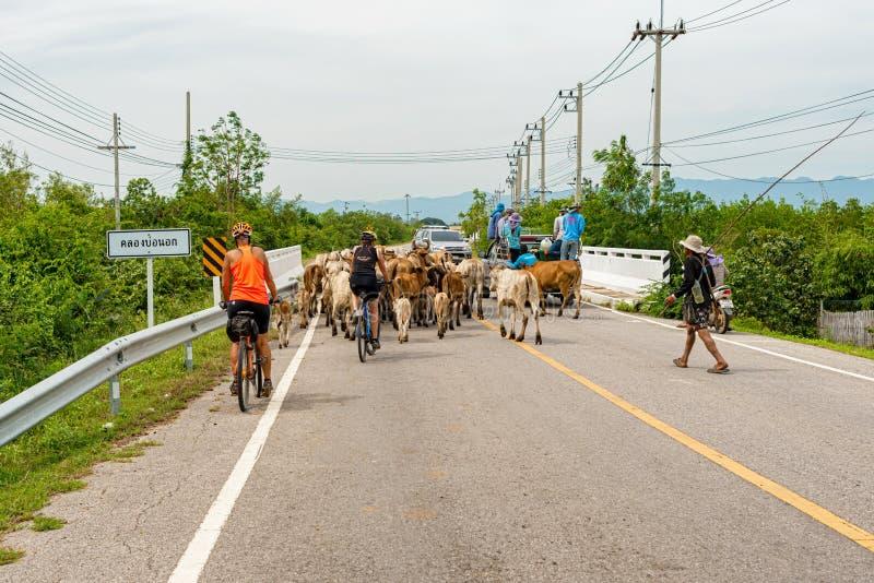 Vacas na estrada em Tailândia fotografia de stock royalty free