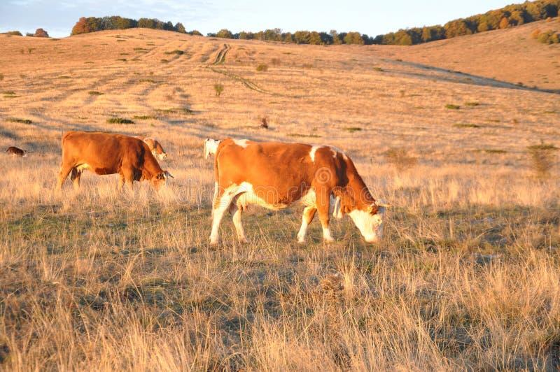 Vacas na exploração agrícola foto de stock