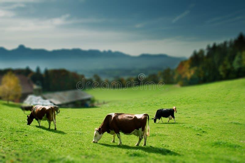 Vacas na grama verde fotos de stock