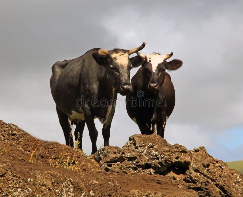 Vacas na Ilha de Páscoa imagens de stock royalty free