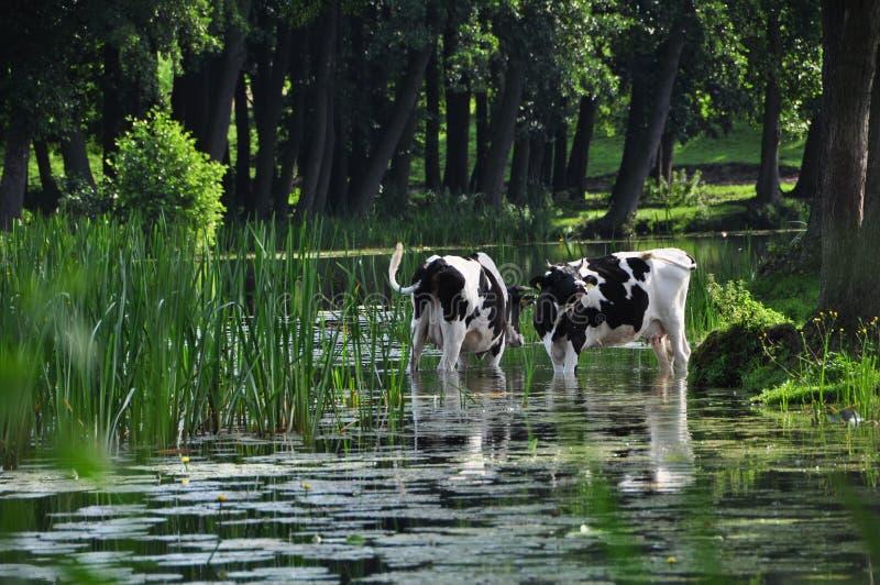 Vacas na lagoa imagem de stock royalty free