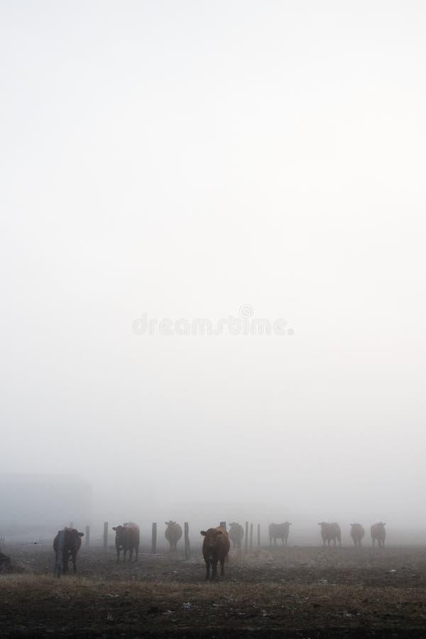 Vacas na névoa imagens de stock
