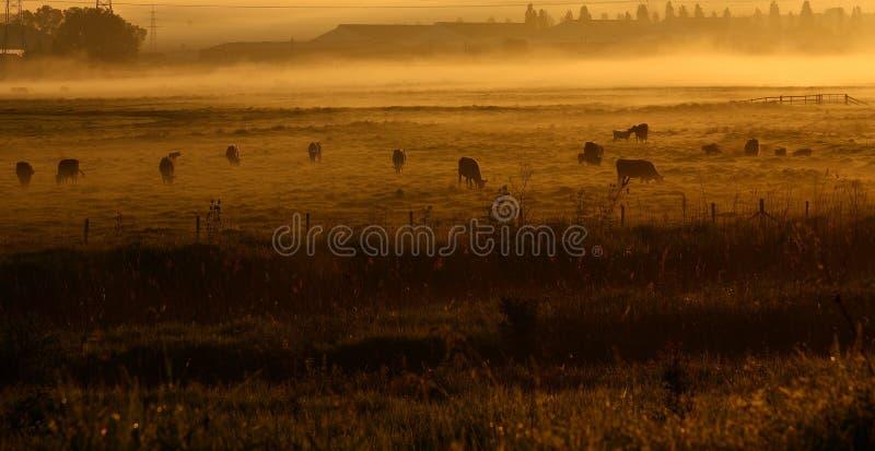 Vacas na névoa da manhã. foto de stock
