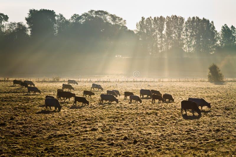 Vacas na névoa da manhã imagens de stock royalty free