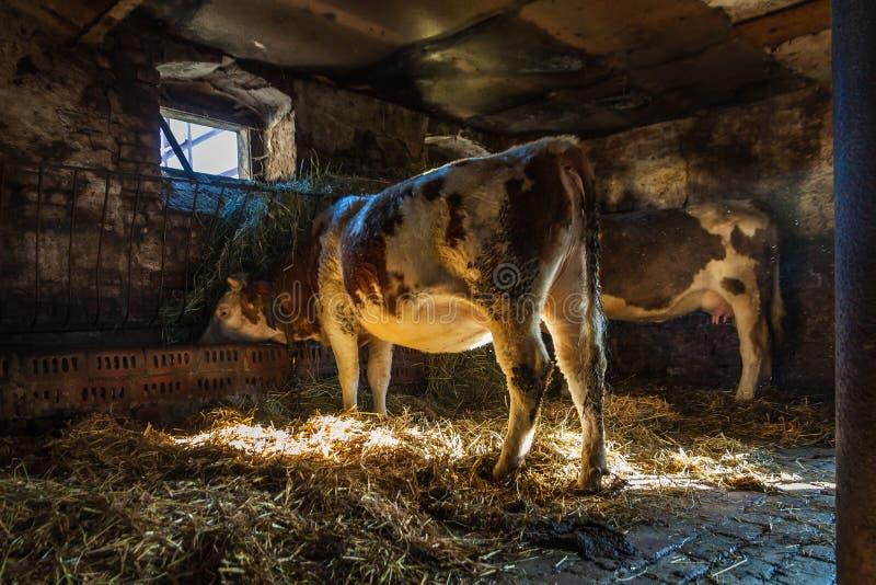 Vacas na posição da exploração agrícola fotos de stock royalty free