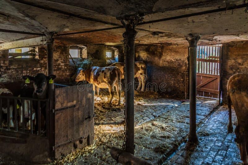Vacas na posi??o da explora??o agr?cola foto de stock royalty free