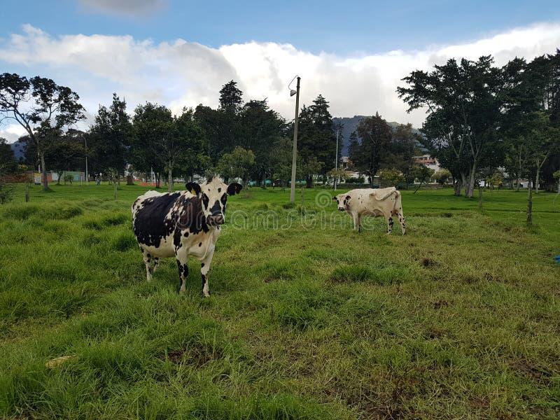 Vacas na universidade nacional de Colômbia fotografia de stock royalty free