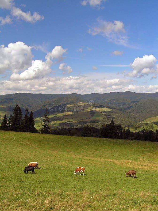 Download Vacas nas montanhas imagem de stock. Imagem de europa, calma - 529179