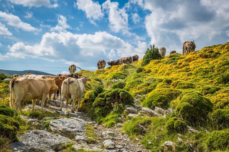 Vacas nas montanhas - pyrenees, Espanha imagens de stock