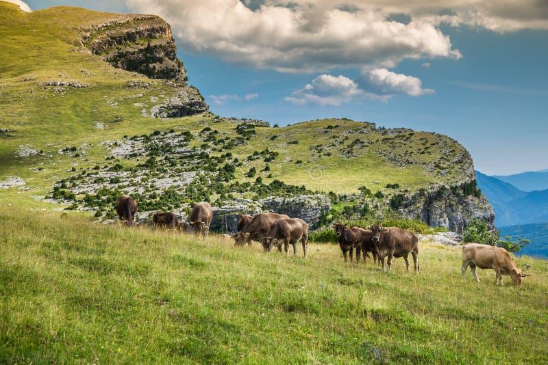 Vacas nas montanhas - pyrenees, Espanha imagem de stock