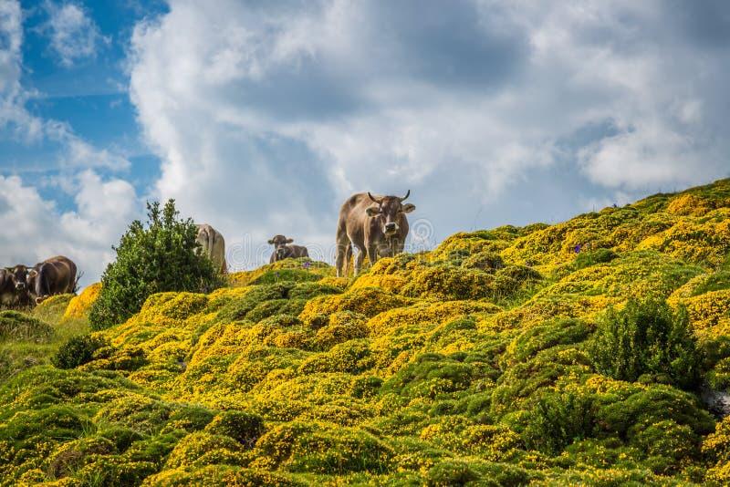 Vacas nas montanhas - pyrenees, Espanha fotos de stock royalty free